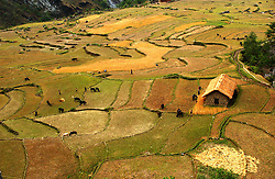 """RUKUM DISTRICT, NEPAL, APRIL 19, 2004:  Nepalese farmers harvest wheat in Rukum District April 19, 2004.  All of the people in this region have declared themselves Maoists and those who are not, have left the area. Analysts and diplomats estimate there about 15,000-20,000 hard-core Maoist fighters, including many women, backed by 50,000 """"militia"""".  In their remote strongholds, they collect taxes and have set up civil administrations, and people's courts. They also raise money by taxing villagers and foreign trekkers.  They are tough in Nepal's rugged terrain, full of thick forests and deep ravines and the 150,000 government soldiers are not enough to combat this growing movement that models itself after the Shining Path of Peru. (Ami Vitale/Getty Images)"""