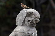 A sparrow sits on the head of a stone lion on the Marco Polo Bridge in southrn Beijing. A total of 485 unique stone lions line on the balustrades of both sides of the ancient bridge. It is called the Marco Polo Bridge, because the 13th century Italian traveler,Marco Polo,crossed it and wrote a vivid description of it, but in Chinese the name is Luguo Qiao.