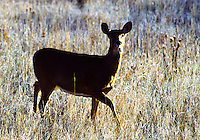 White-tailed deer, Odocoileus virginianus, doe. These deer found throughout most of the continental United States, are generalists and can adapt to a wide variety of habitats,