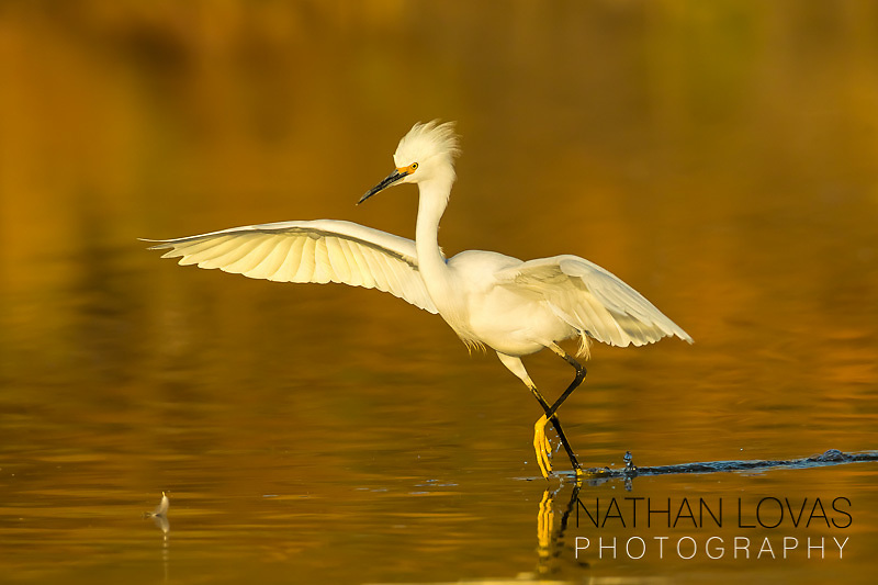 Snowy egret running in golden water;  Arizona.