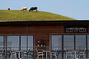 Kåseberga. Vendel Ales Stenar restaurant. Cows above the terrace. In the films starring Kenneth Branagh the top floor is used as Wallander's office.