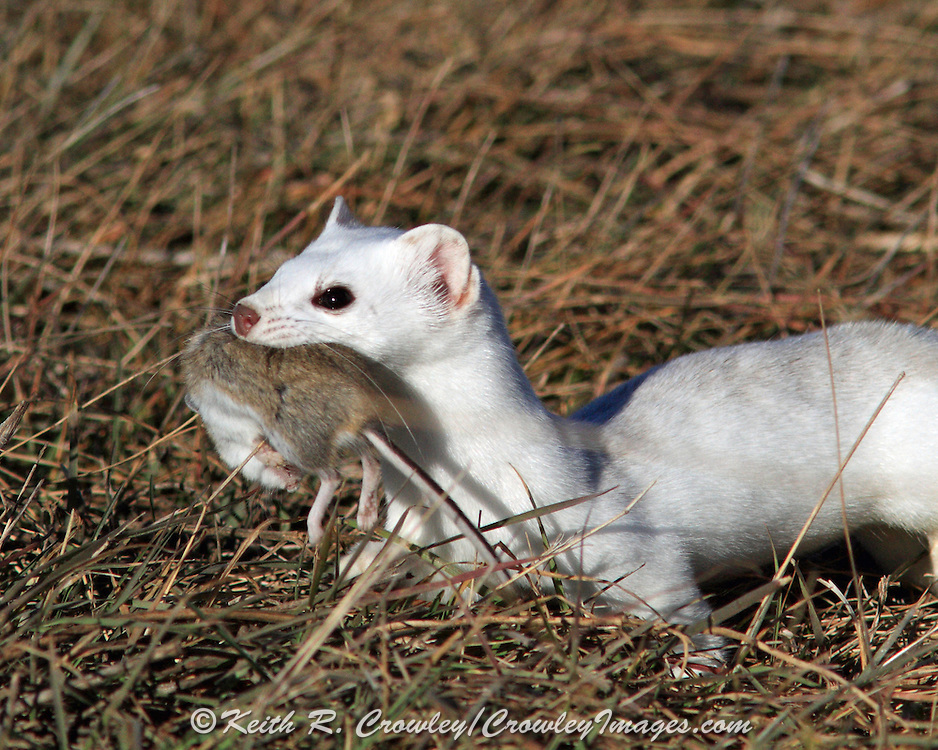Long-tailed weasel (winter coat) carrying mouse.