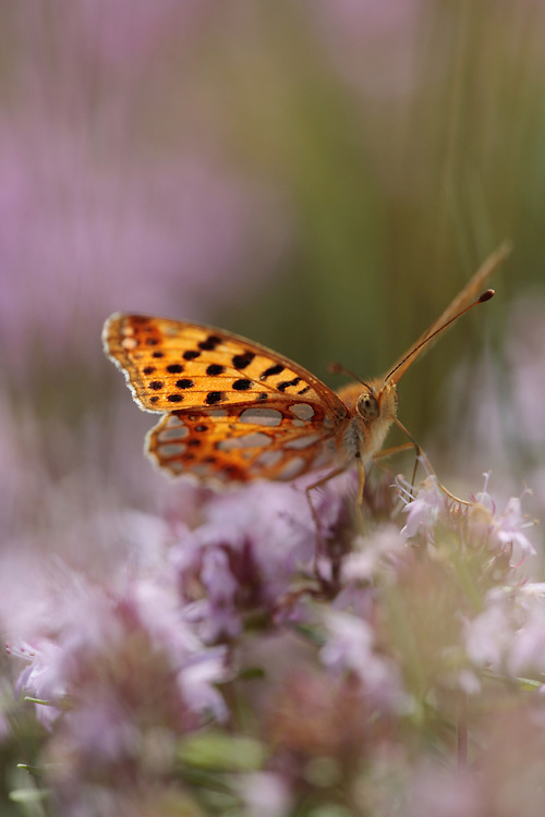 Queen of Spain Fritillary butterfly, Argynnis lathonia, Mountain pasture, Mount Baba (1635 m) in Galicica National Park. Stenje region, Lake Macro Prespa (850m) <br /> Galicica National Park, Macedonia, June 2009<br /> Mission: Macedonia, Lake Macro Prespa /  Lake Ohrid, Transnational Park<br /> David Maitland / Wild Wonders of Europe