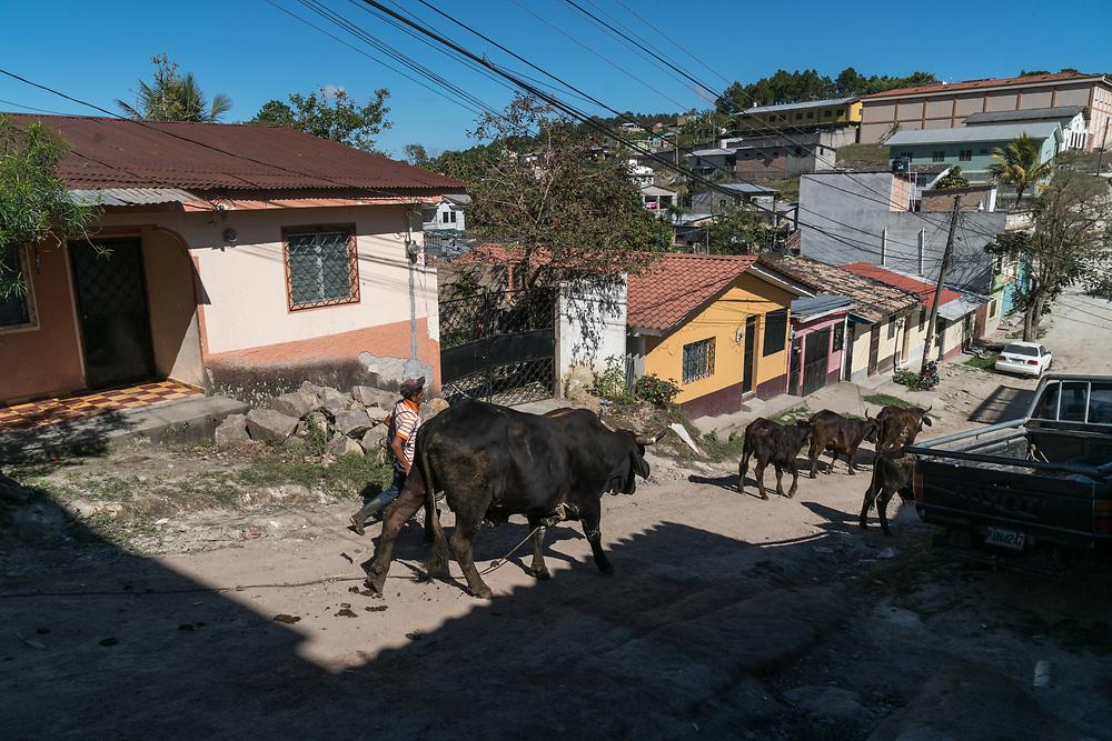 A man guids his cows down a street in Santa Rosa de Copan, Copan, Honduras on Feb. 12, 2017. Photo Ken Cedeno