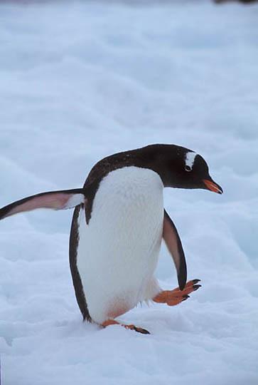 Gentoo Penguin, (Pygoscelis papua) Adult cooling off. Petermann Island. Antarctic Peninsula.
