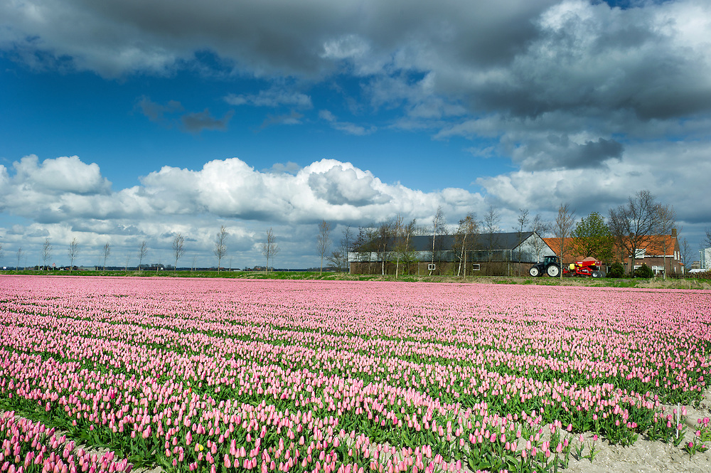 The Netherlands are famous for flowers and very typical in a Dutch landscape. Bulb fields, long narrow ditches and green strips of grass create a colourful palette, especially in the provinces of Noord-Holland and Flevoland. Flowers are not only one of the main export products of the Netherlands, they also attract many tourists from all over the world, year after year. Holland and tulips are inseparable. The first bulbs arrived in Holland several centuries ago from Turkey and Iran. They immediately became very popular in Holland and their arrival was the beginning of a prosperous flower industry. Today Holland is the main producer of commercially sold flowers and plants.