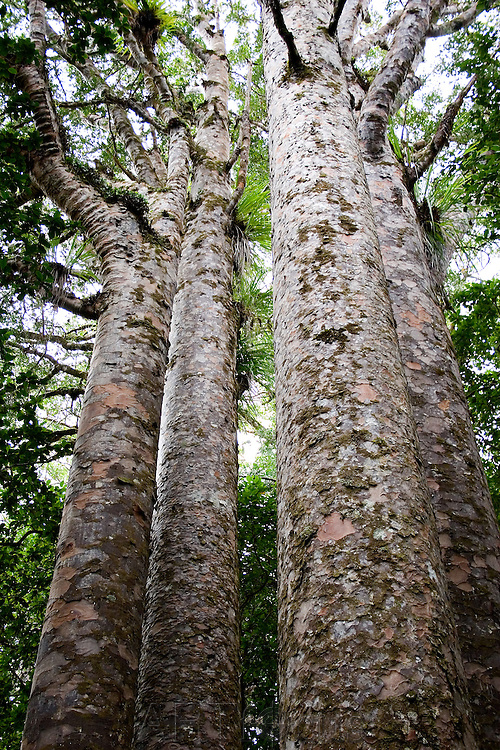 stand of kauri trees in the Ngaiotonga Forest in Northland