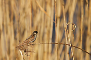Reed bunting on a phragmites reed near the hide on Noah's Lake at Shapwick Heath in late winter, lit by the afternoon sun.