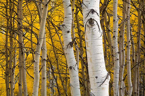 Kebler Pass, aspen trees, leaves, Colorado