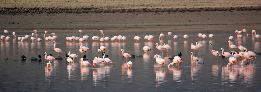 Flamingos in Lago Huayacota, Sajama National Park, Bolivia