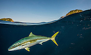 Underwater view of kingfish: seriola lalandi, in Northern New Zealand.