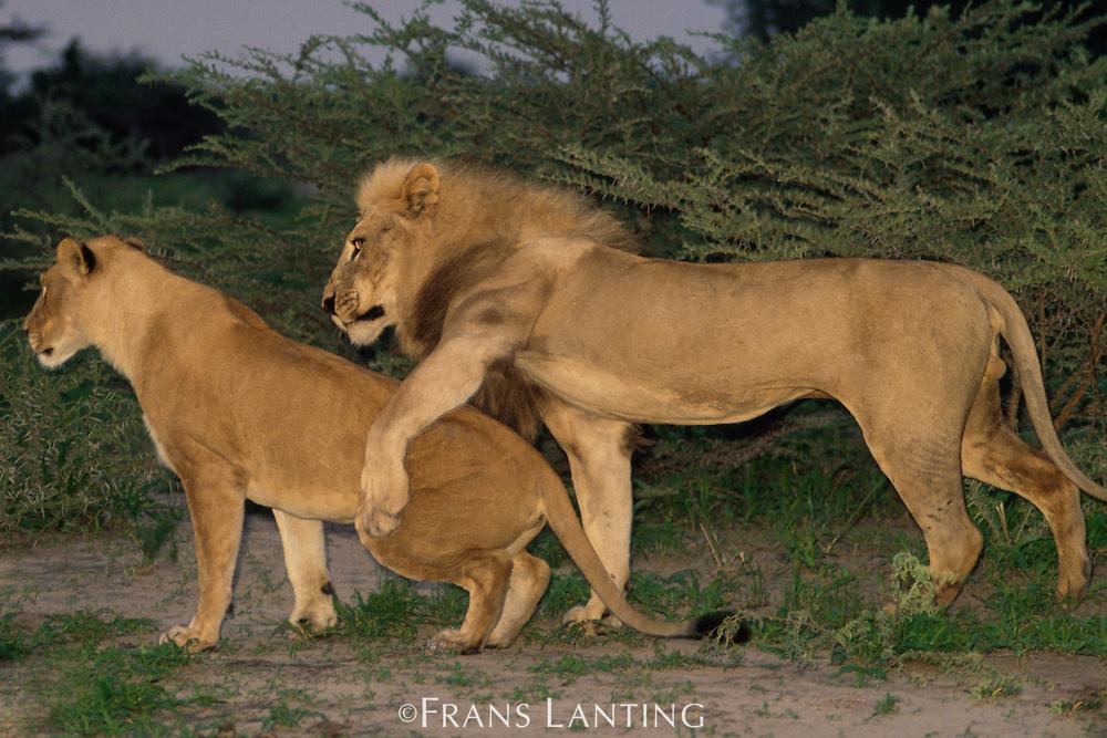 Lions mating, Panthera leo, Chobe National Park, Botswana