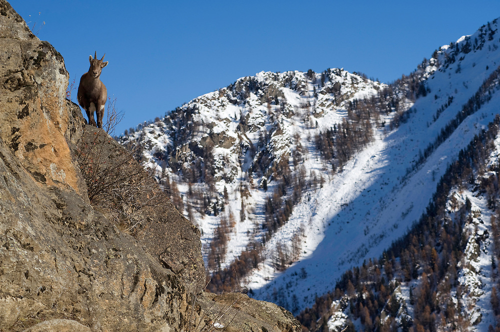16.11.2008.Alpine Ibex (Capra ibex) in alpine landscape..Gran Paradiso National Park, Italy