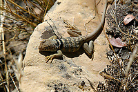 Great Basin Collared Lizard (Crotaphytus bicinctores) Red Rock Canyon - west of Las Vegas   Photo: Peter Llewellyn