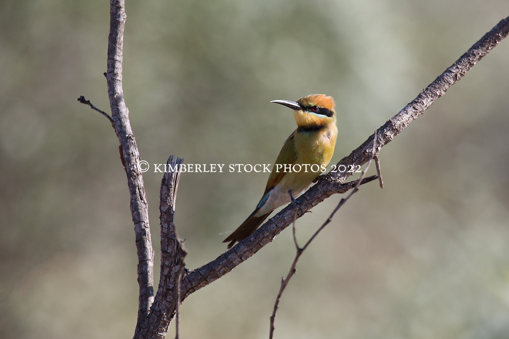 A Rainbow bee-eater watches for bees near Mandora Marsh south of Broome.