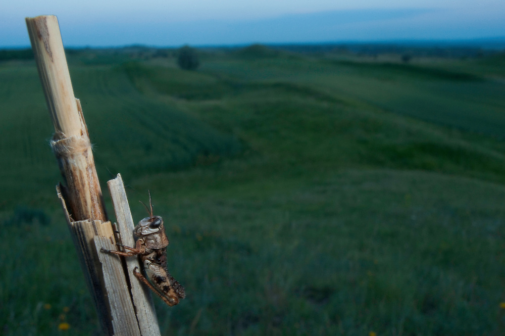 Molt of a Moroccan locust (Dociostaurus maroccanus) in Moldova near adurea Domnesca National Park