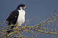 Augur buzzard,, Buteo augur, Ngorongoro crater, Serengeti NP, Tanzania