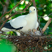 Pied Imperial-Pigeon, Ducula bicolor, on its nest with a young chick.