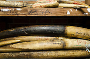 Confiscated poached ivory<br /> Mbomo African Park's Congo Headquarters<br /> Odzala - Kokoua National Park<br /> Republic of Congo (Congo - Brazzaville)<br /> AFRICA