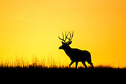 Trophy mule deer buck during the rut at dawn