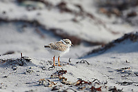 Newly fledged Piping plover (charadrius melodus) chick foraging along tide line, Cherry Hill Beach, Nova Scotia, Canada,