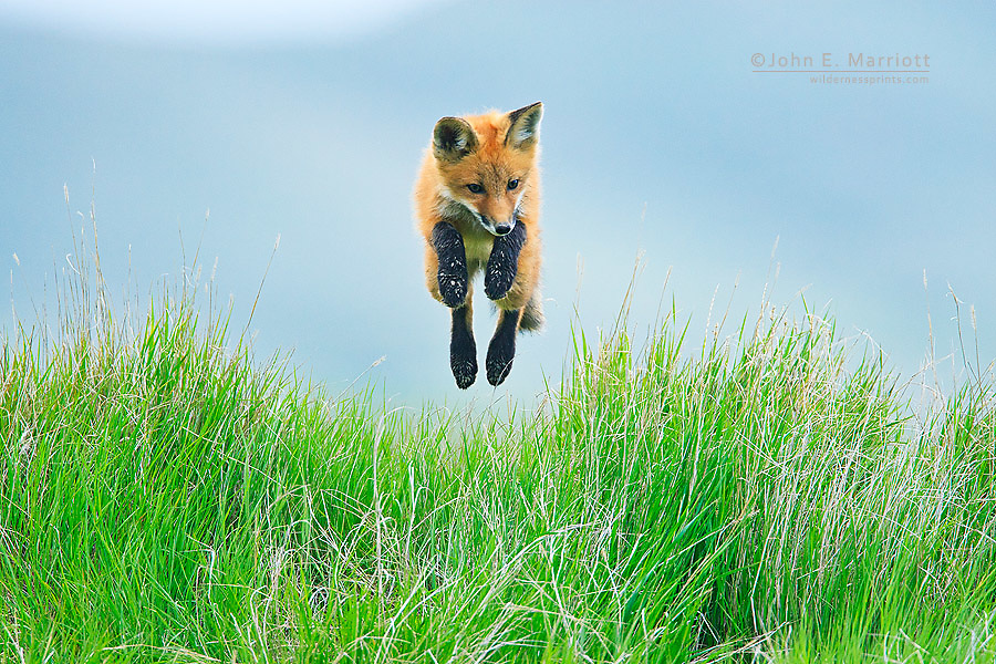 Red fox pup playing and jumping in tall grass on the Saskatchewan prairies in Canada