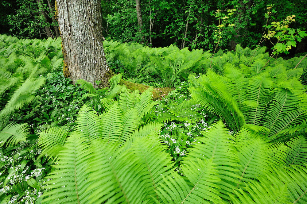 Fern, Moricsala Strict Nature Reserve, Moricsala Island, Lake Usma, Latvia