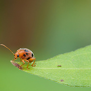 Crioceris sp. shining leaf beetle.