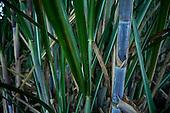Cana de açúcar | Sugar cane