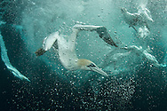 Gannets dving to feed on dsicarded fish, Shetland Isles