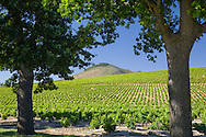 Vineyard in the Franschhoek Valley, near Stellenbosch, South Africa.