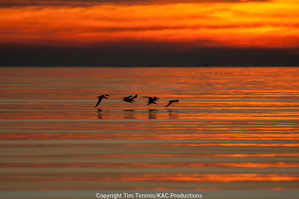 Black Skimmer, Rynchops niger, Bolivar Flats, Texas gulf coast, flying flock, silhouette, calm water with golden light