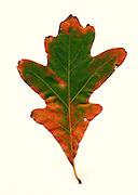 fall leaf, southeastern Ohio, white oak