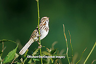 01575-01707 Song Sparrow (Melospiza melodia) singing Marion Co.  IL