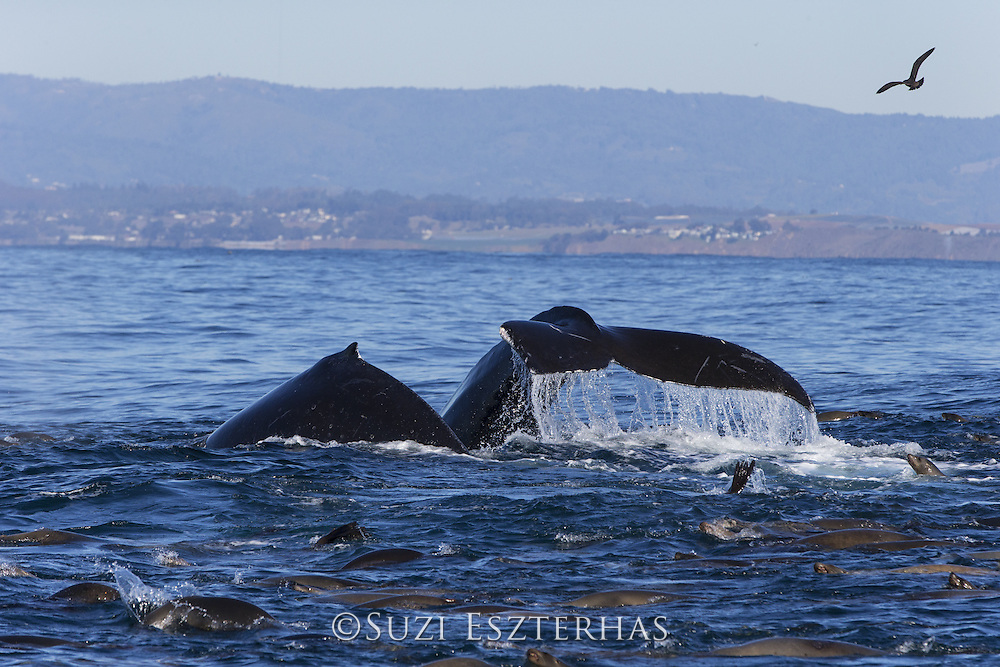 Humpback Whale<br /> Megaptera novaeangliae<br /> Diving while feeding on anchovy with California sea lions (Zalophus californianus)<br /> Monterey Bay, California
