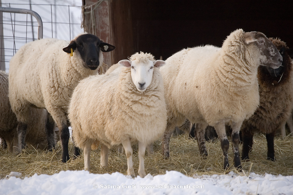 Family farm, sheep in winter on small sustainable family farm in Hillsdale, Columbia County, NY, New York
