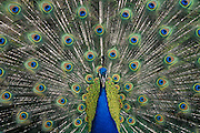 Peacock displaying tail feathers.