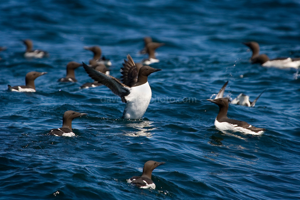 Common Murre or Guillemot, flapping its wings in the waters of Kenai Fjords National Park, Alaska