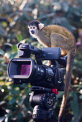 © Licensed to London News Pictures.18/12/2013. London, UK. A Squirrel monkey sitting on a camera during the christmas photo call at the ZSL London Zoo.Photo credit : Peter Kollanyi/LNP