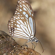 The Glassy Tiger, Parantica aglea melanoides.