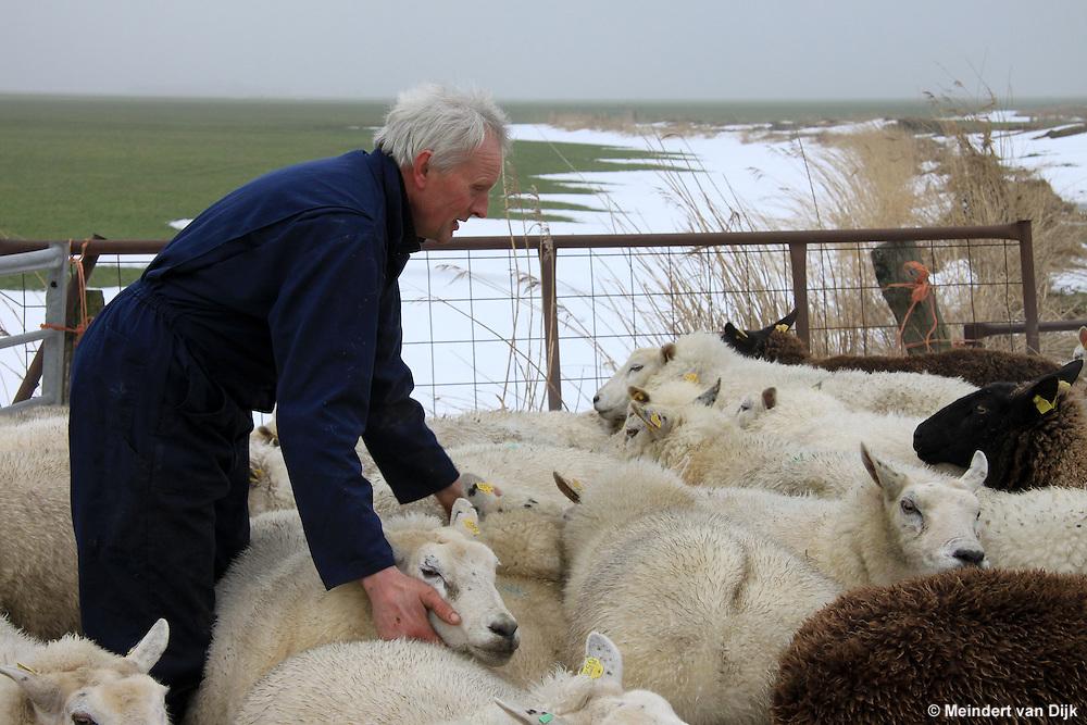 Raard, 20 januari 2010 - Schapenhouder Gerrit Kingma uit Hantumeruitburen scheidt zijn 115 schapen van de 50 schapen van zijn buurman. De schapen liepen op twee weilanden aan de Birdaarderstraatweg te Raard (bij Dokkum). Door het ijs op de sloten waren de schapen bij elkaar gekomen. <br /> <br /> Raard, January 20, 2010 - Sheep farmer Gerrit Kingma from Hantumeruitburen separates his 115 sheep from 50 sheep of his neighbor. The sheep were on two fields at the Birdaarderstraatweg in Raard (in Dokkum). Because the ice in the ditches the sheep were together.