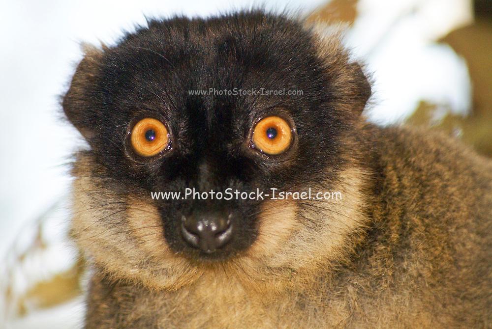 Madagascar, Vakona  forest, Brown Lemur, Eulemur fulvus
