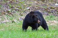 A Black Bear (Ursus americanus)  in E C Manning Provincial Park, British Columbia, Canada
