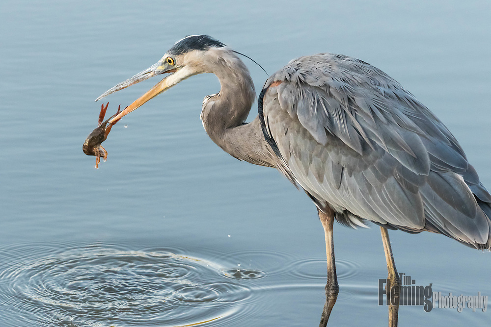 Great blue heron and crawfish. Ellis Creek Water Recycling Facility, Petaluma, CA