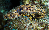 The Sculptured Slipper Lobster (Parribacus antarcticus), St. Lucia.