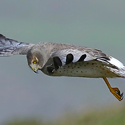 Northern Harrier, Point Reyes National Seashore