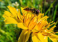 Pollinator on Arnica Flower