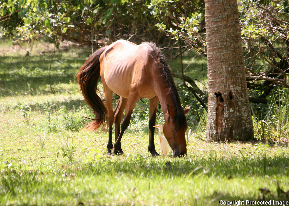 A Cumberland Island wild horse with a cowbird standing under it's neck, picking off bugs it stirs up while grazing.