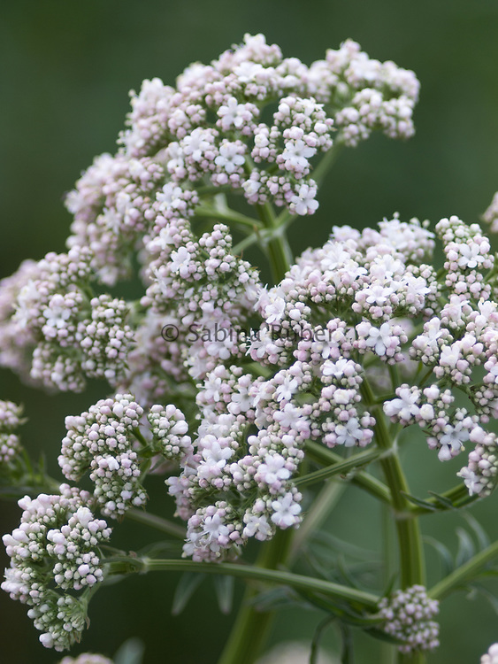 Valeriana officinalis - common valerian