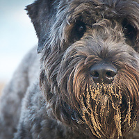 Bouvier Des Flandres Dogs
